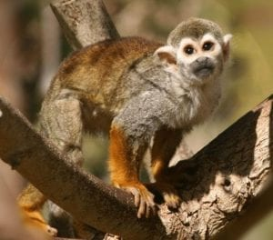 fauna-de-la-selva-peruana-el-mono-ardilla